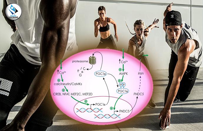 I numerosi benefici dell'irisina, l'ormone dell'attività fisica